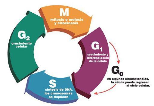 Etapas del ciclo celular