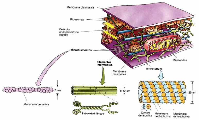 citoesqueleto